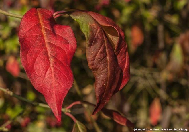 Fusain automne baies ouvertes6_1 copie