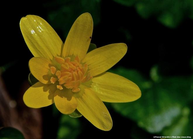 Ficaire fleur