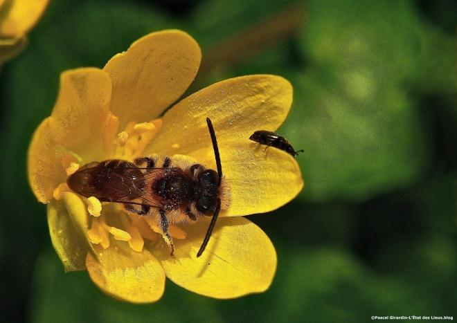 Ficaire pollinisateurs