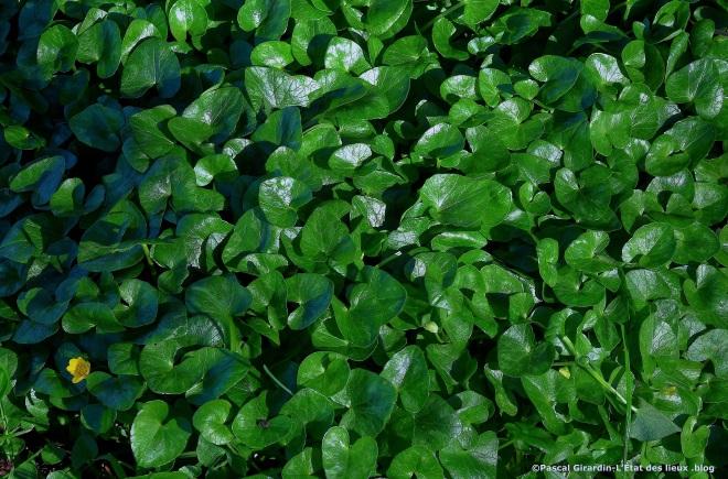 Ficaires feuilles cordiformes