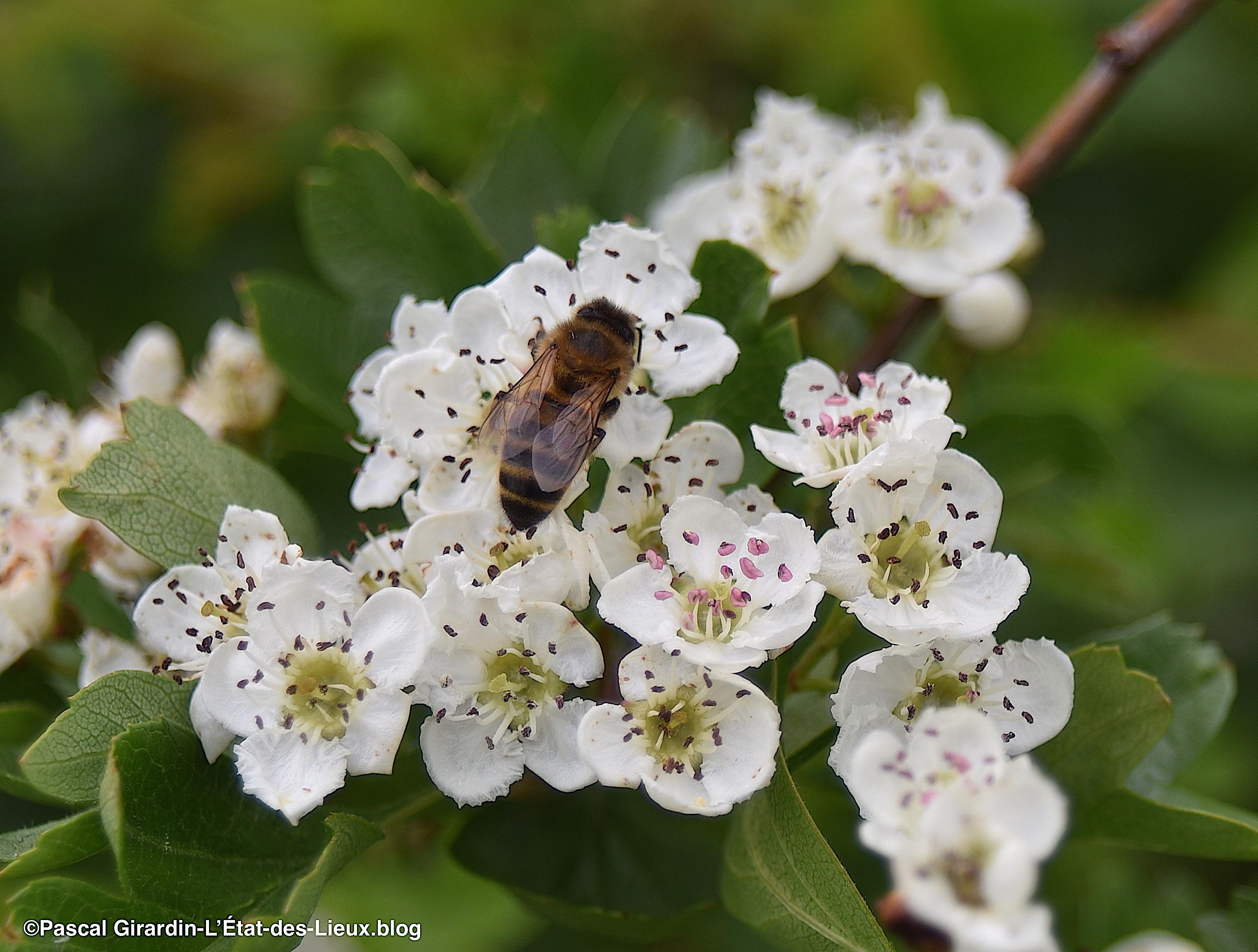 Aubépine-abeille
